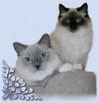 Blue Mitted Ragdoll and Seal Colorpoint Ragdoll Cats
